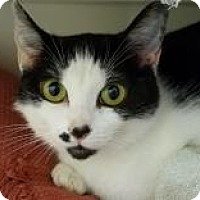 Domestic Shorthair Cat for adoption in Trevose, Pennsylvania - Jigsaw
