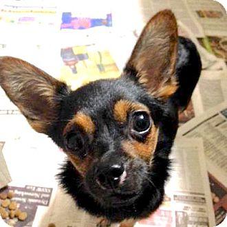 Chihuahua Mix Dog for adoption in Austin, Texas - Anjelito