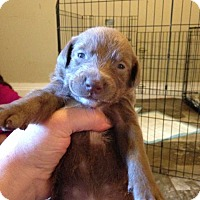 Labrador Retriever Mix Dog for adoption in Wenonah, New Jersey - Marlee litter boy 2