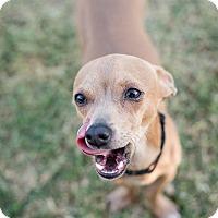 Adopt A Pet :: Giddy - Phoenix, AZ