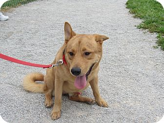 Finnish Spitz/Chow Chow Mix Dog for adoption in Cameron, Missouri - Jax