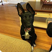Shepherd (Unknown Type)/Collie Mix Puppy for adoption in Bristol, Connecticut - Maggie