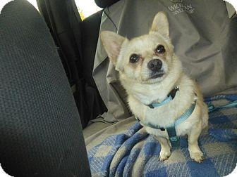 Chihuahua Mix Dog for adoption in Glastonbury, Connecticut - Sophiaa