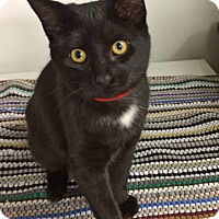Domestic Shorthair Cat for adoption in Albion, New York - Vixen