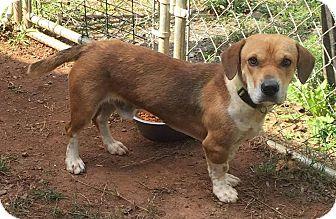 Beagle Mix Dog for adoption in Washington, D.C. - Loki