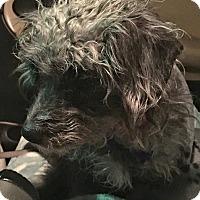 Adopt A Pet :: Junifer - Las Vegas, NV