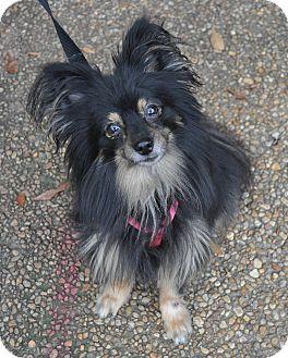 Pomeranian/Papillon Mix Dog for adoption in Atlanta, Georgia - Kirby
