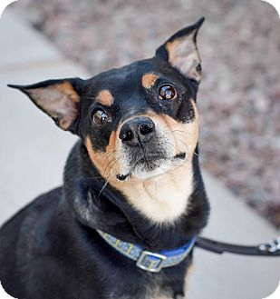 Manchester Terrier Mix Dog for adoption in Gilbert, Arizona - Chaco