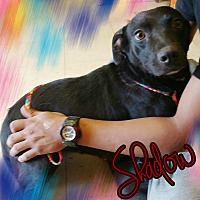 Adopt A Pet :: Shadow - Odessa, TX