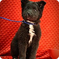 Adopt A Pet :: Pookie Bear - Broomfield, CO