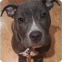 Adopt A Pet :: Shayna - Cleveland, OH