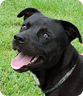 Pit Bull Terrier Mix Dog for adoption in Nashville, Indiana - Charlie