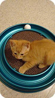 Domestic Shorthair Kitten for adoption in Cambridge, Ontario - Marlin