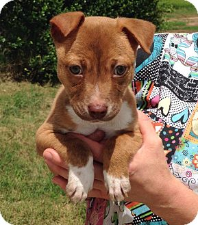 Terrier (Unknown Type, Medium)/Jack Russell Terrier Mix Puppy for adoption in Troutville, Virginia - Finn