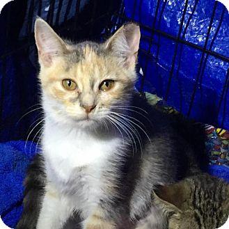 Calico Kitten for adoption in Charlotte, Michigan - Cupcake