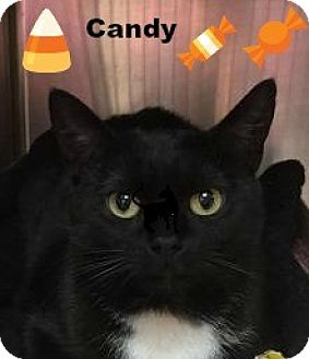 Domestic Shorthair Cat for adoption in Manchester, New Hampshire - Candy;needs another cat