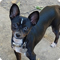 Chinese Crested/Chihuahua Mix Puppy for adoption in Washington, D.C. - Jack