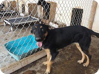 Shepherd (Unknown Type)/Labrador Retriever Mix Dog for adoption in Zaleski, Ohio - Sassy