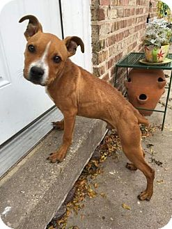 Staffordshire Bull Terrier/Pit Bull Terrier Mix Dog for adoption in Villa Park, Illinois - Lucky