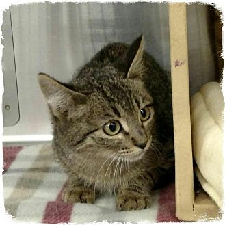 Domestic Shorthair Kitten for adoption in Pueblo West, Colorado - Felix