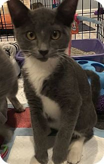 Domestic Shorthair Cat for adoption in Turnersville, New Jersey - Pinot