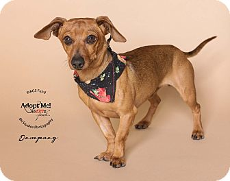 Dachshund/Chihuahua Mix Dog for adoption in Houston, Texas - Dempsey