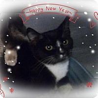 Domestic Mediumhair Kitten for adoption in San Bernardino, California - Ms. Mittens