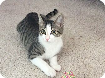 Domestic Shorthair Kitten for adoption in Youngsville, North Carolina - Nala