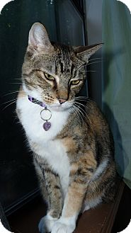 Domestic Shorthair Cat for adoption in Bentonville, Arkansas - Mimi