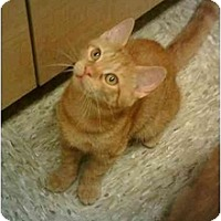 Domestic Shorthair Cat for adoption in Stuarts Draft, Virginia - Clover