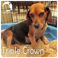 Adopt A Pet :: Triple Crown - Novi, MI