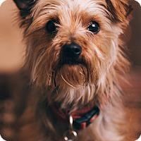 Adopt A Pet :: Izzy - Portland, OR