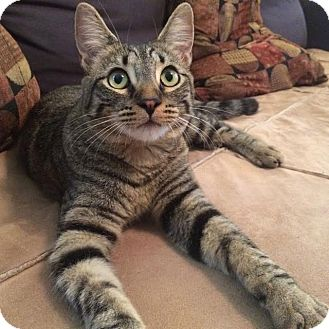 Domestic Shorthair Cat for adoption in Los Angeles, California - Auri (bonded to Kote)
