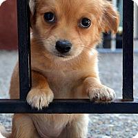 Adopt A Pet :: Shasta - Bridgeton, MO