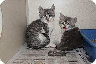 Domestic Shorthair Kitten for adoption in Pottsville, Pennsylvania - kittens