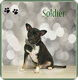 Chihuahua/Terrier (Unknown Type, Small) Mix Dog for adoption in Elburn, Illinois - Soldier