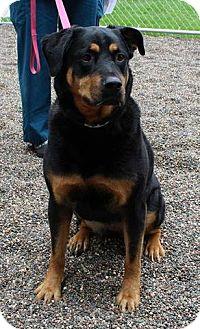 Rottweiler/German Shepherd Dog Mix Dog for adoption in Shakopee, Minnesota - Sasha the Rottie D3162