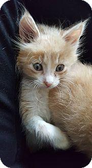 Domestic Longhair Kitten for adoption in Chesapeake, Virginia - Lewis
