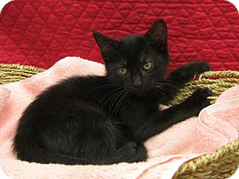 Domestic Shorthair Kitten for adoption in Redwood Falls, Minnesota - Jazabell