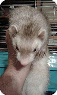Ferret for adoption in Aurora, Illinois - Dusty