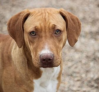 Boxer/Terrier (Unknown Type, Medium) Mix Dog for adoption in Hudson, New Hampshire - Nola Beatrice