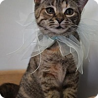 Domestic Shorthair Cat for adoption in Toledo, Ohio - AURORA