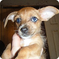 Dachshund/Chihuahua Mix Puppy for adoption in Mansfield, Texas - Jade