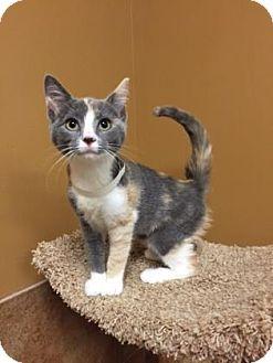 Domestic Shorthair Kitten for adoption in Philadelphia, Pennsylvania - Willow