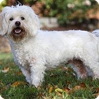 Adopt A Pet :: FINNEGAN - Ile-Perrot, QC