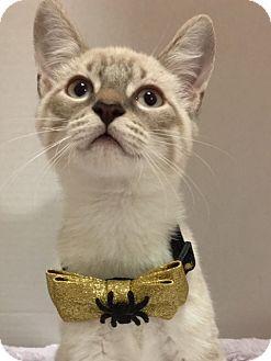 Siamese Kitten for adoption in Pasadena, Texas - Max