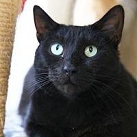Domestic Shorthair Cat for adoption in Columbus, Ohio - Alexandra