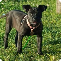 Pit Bull Terrier Mix Dog for adoption in Weatherford, Texas - Harlea