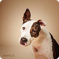 Boxer/Basenji Mix Dog for adoption in Houston, Texas - Maple