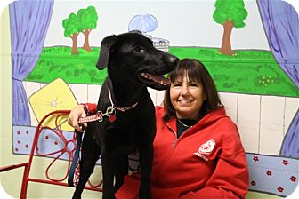 Labrador Retriever/Doberman Pinscher Mix Puppy for adoption in Elyria, Ohio - Maggie